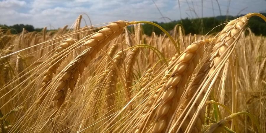 Campo de cosecha de cereales